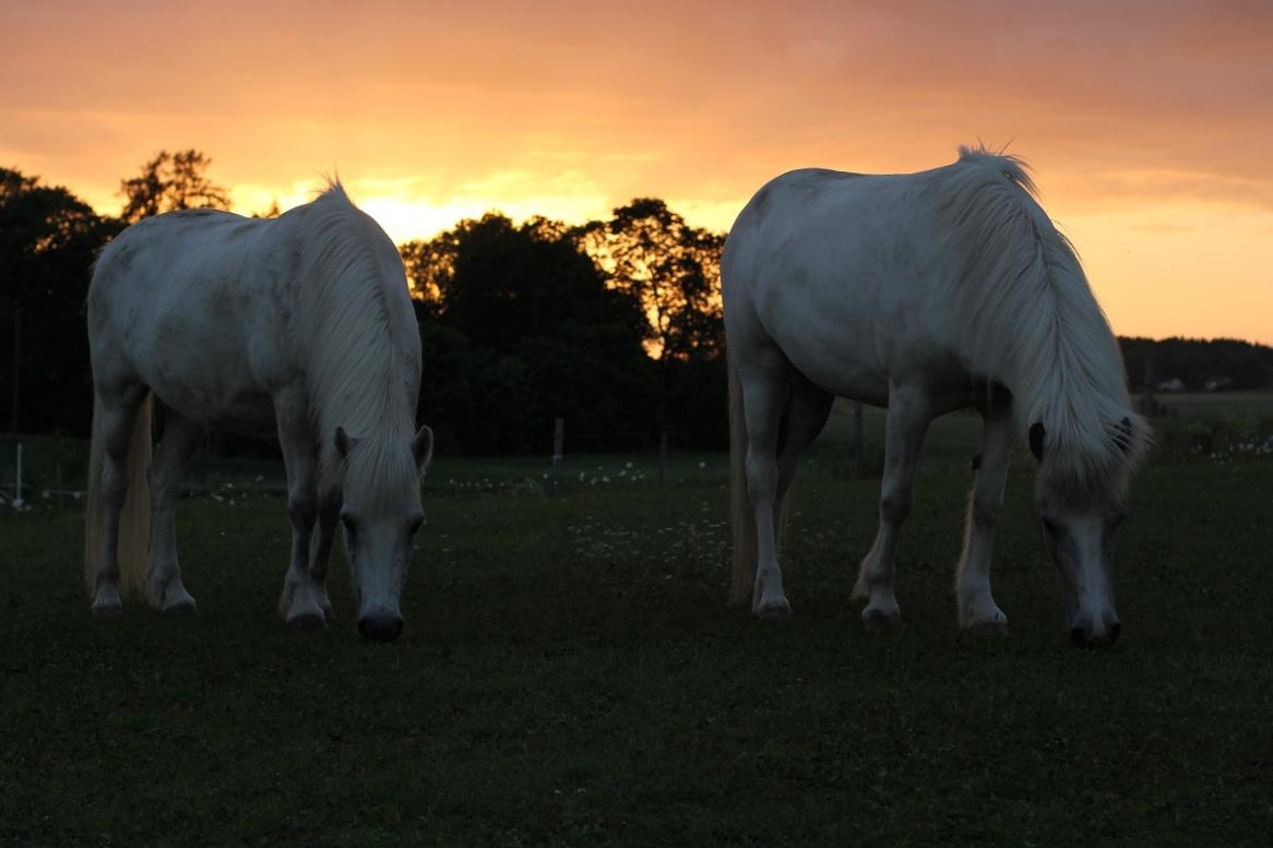 hästar i kvällsljus