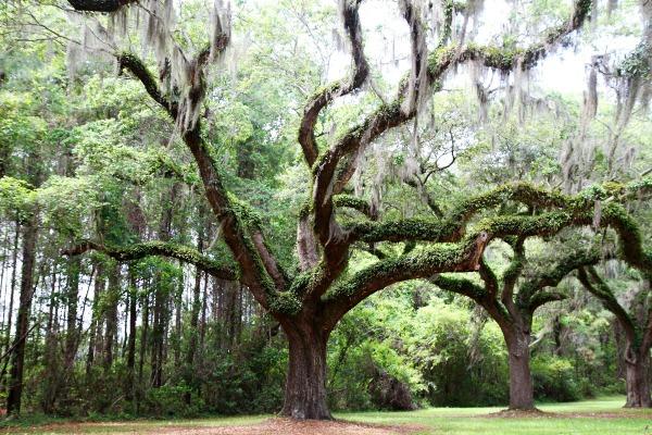Träden i den långa allén upp mot Boone Hall Plantation. Täckta med spansk mossa