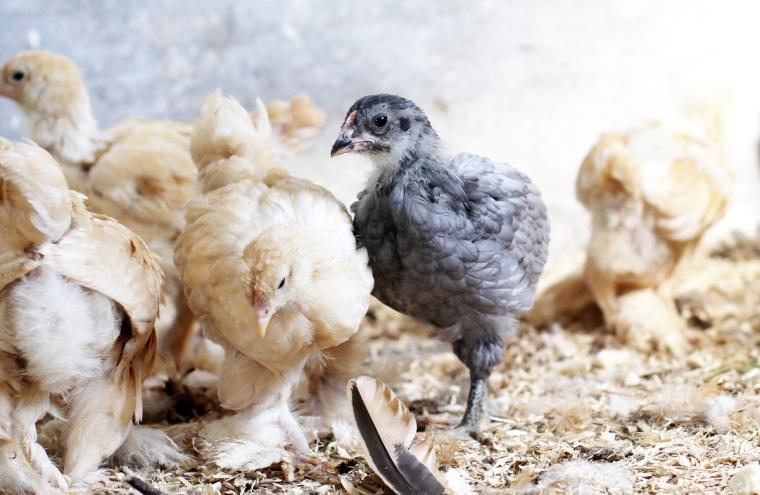 kycklingarna 3